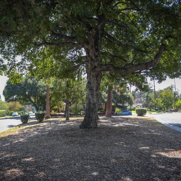 Large tree in the park