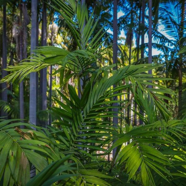 Ferns at the Virginia Robinson Gardens
