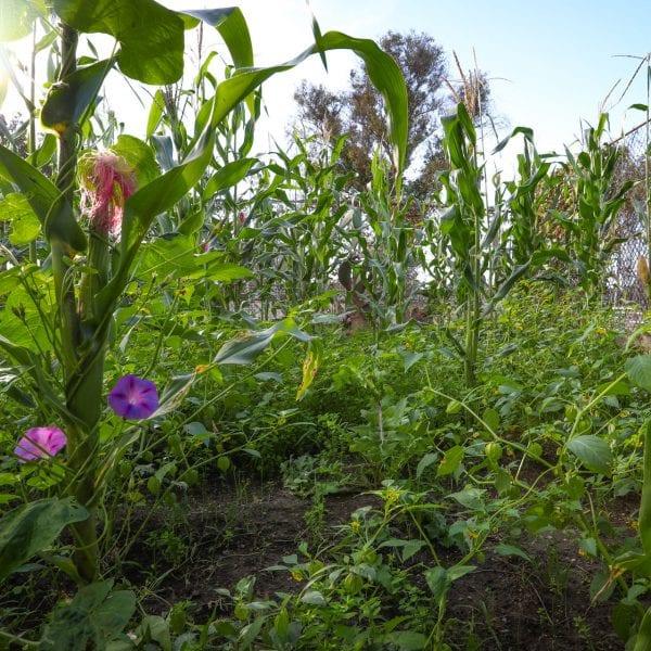 Corn stalks and morning glories