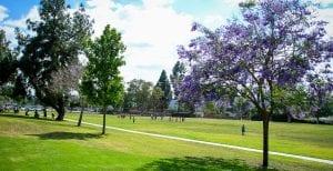Trees with purple flowers in Manzanita Park