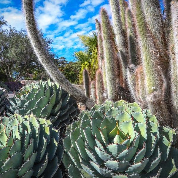 Cacti in a garden