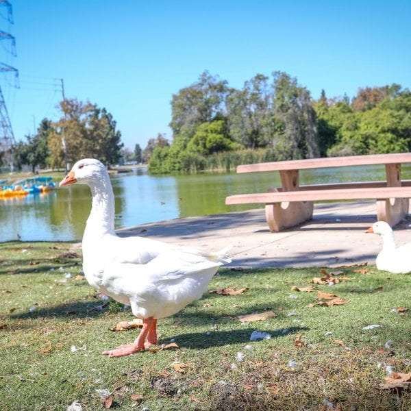 Geese in front of picnic table and lake