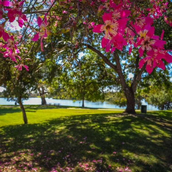 Magenta flowers in tree over hanging a green lawn. Trees and lake in the background