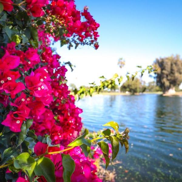 Magenta flowers among a lake