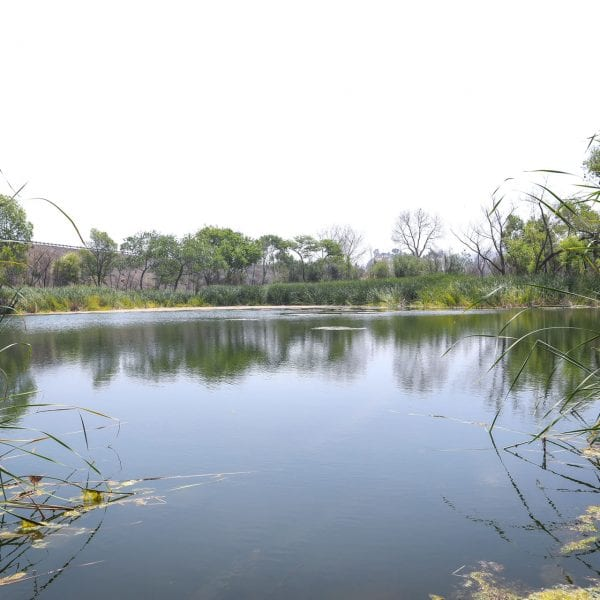 A pond with tall grass and trees