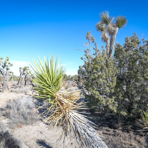 Yucca and joshua tree in the desert