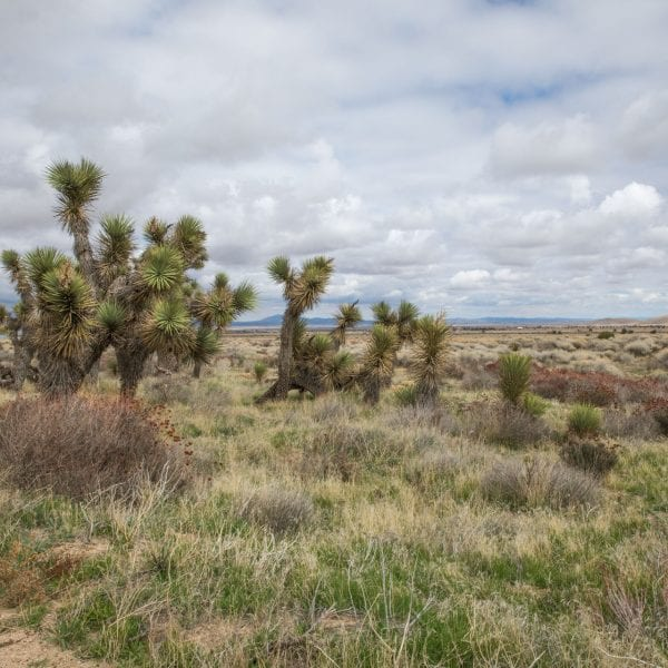 Neenach Wildlife Preserve open field of bushes and desert pine