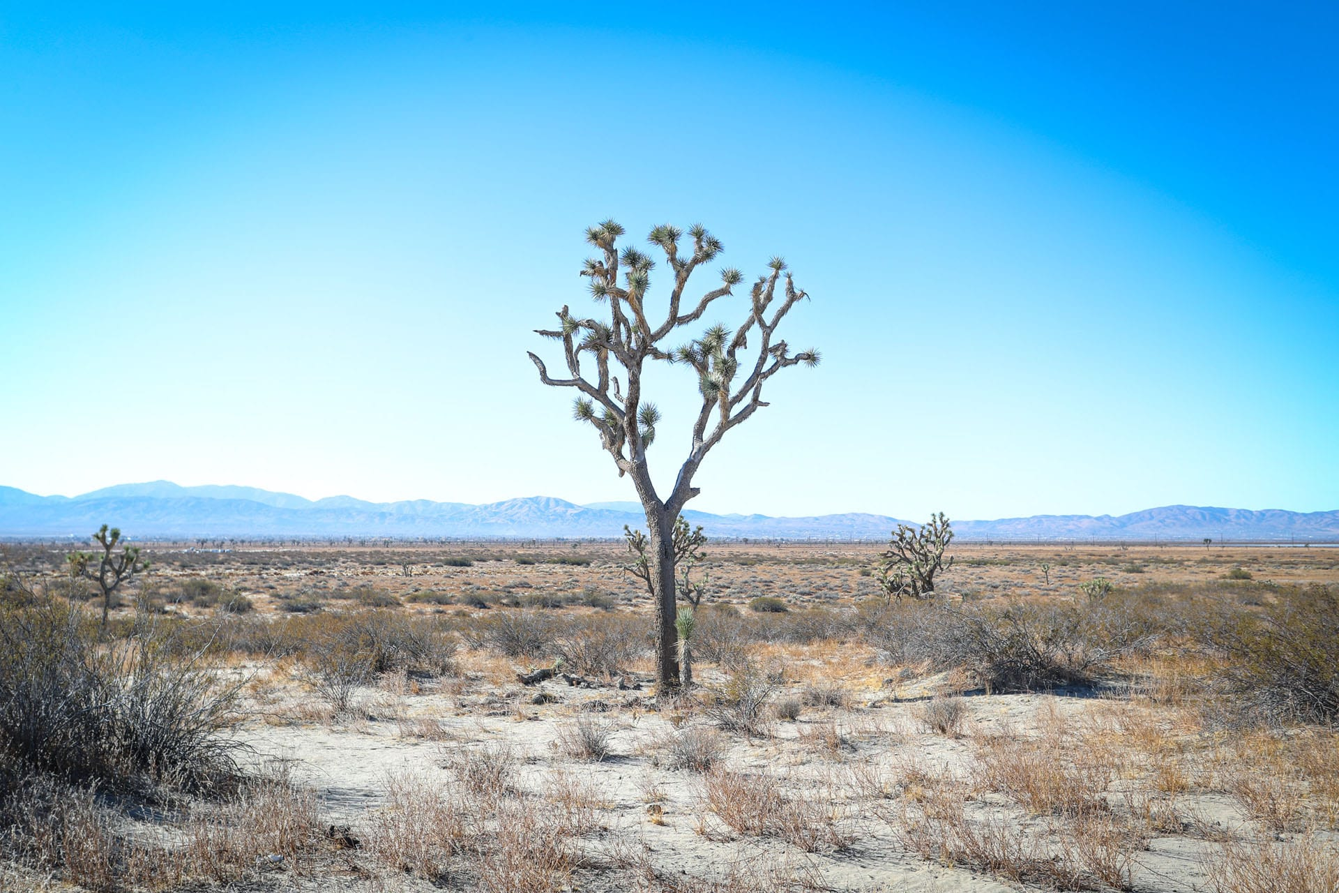 Joshua trees in a desert