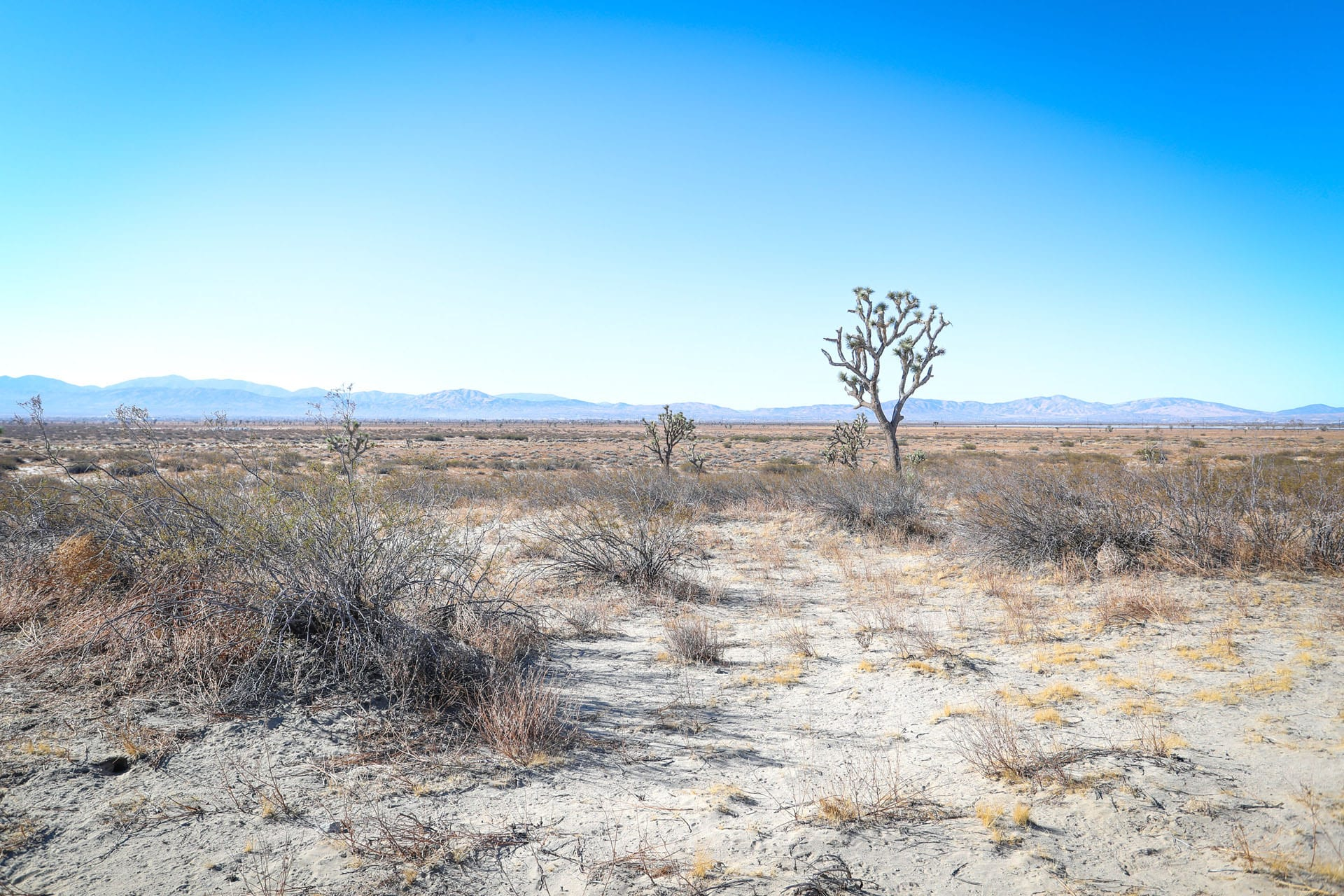 Desert with joshua trees