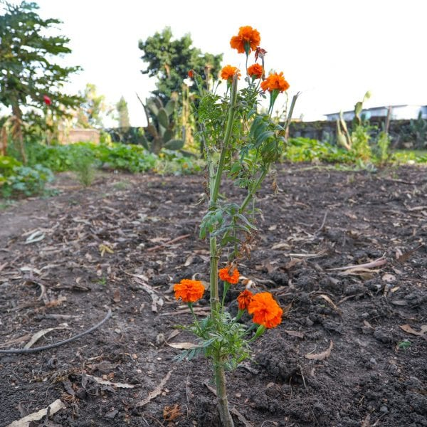 Vibrant orange flowers in a garden