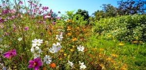 wild cosmos daisy flowers
