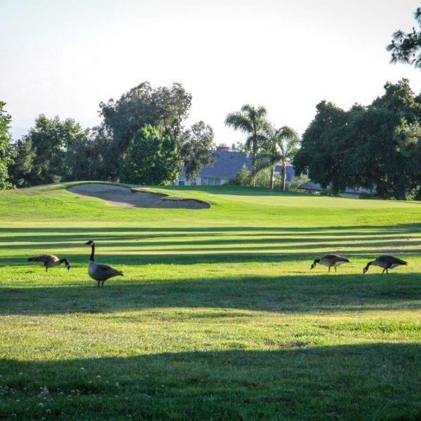Ducks in a grove