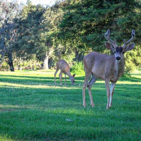 Deer in a grove