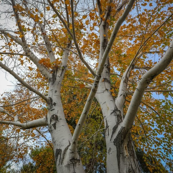 Upward view of tree with fall colored leaves