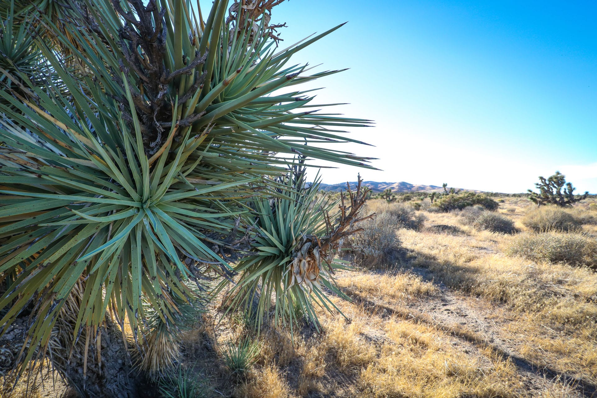 Close-up of Joshua tree needles, desert plain in the background