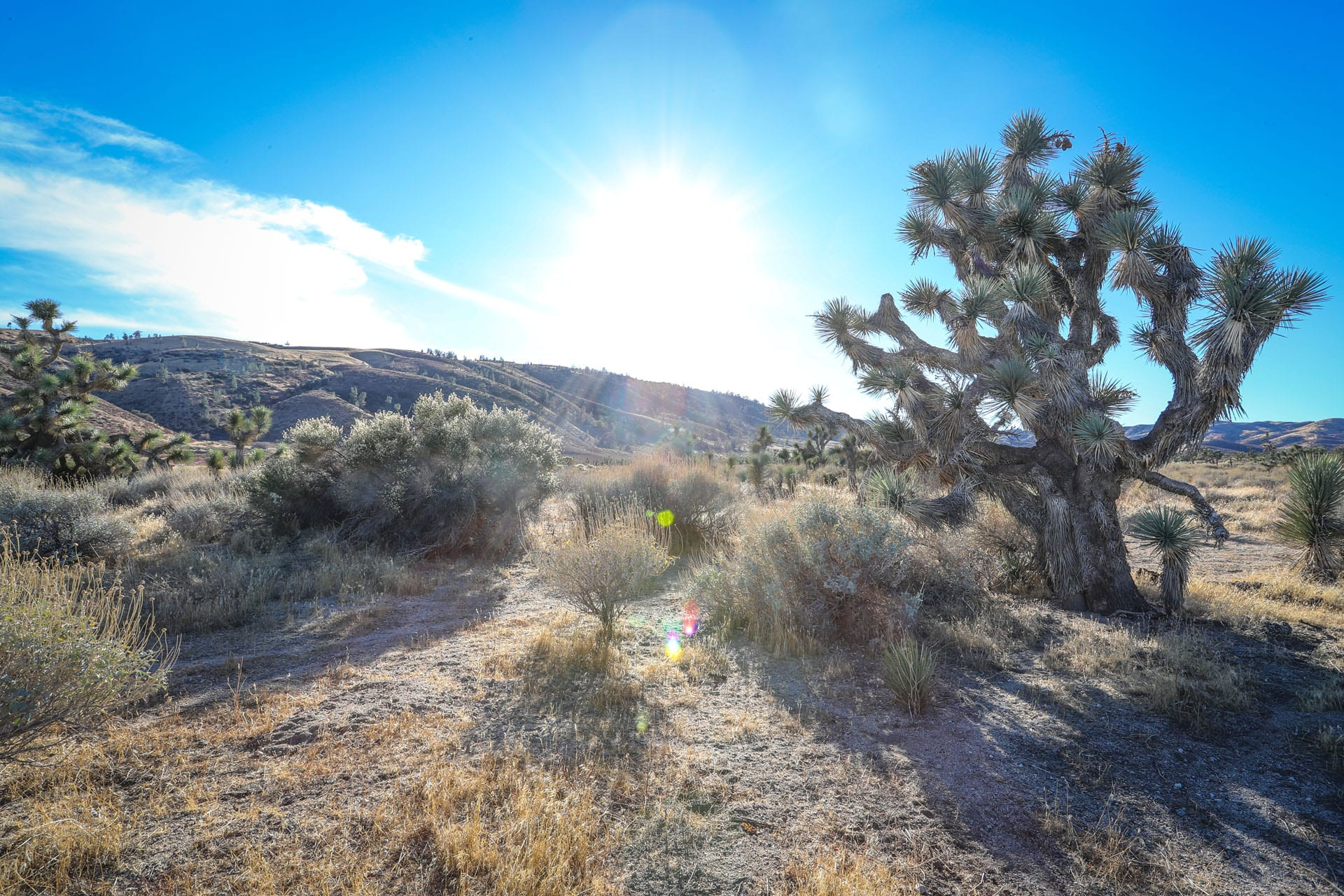 Joshua tree and yucca and other life in a desert