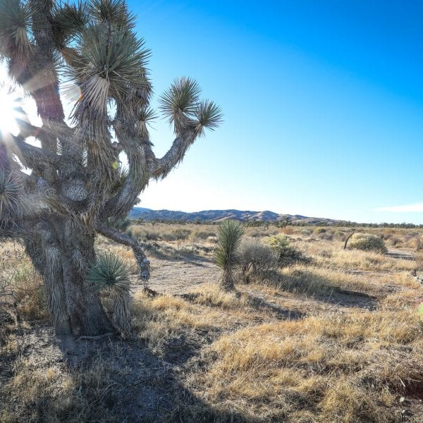 Joshua tree in a desert