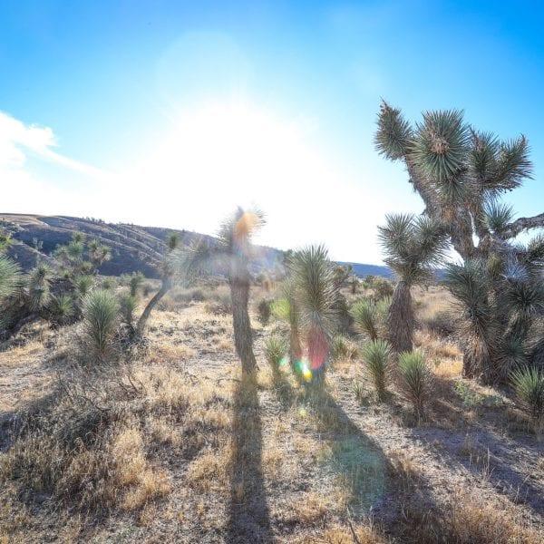 Joshua trees amongst a bright sun and blue sky