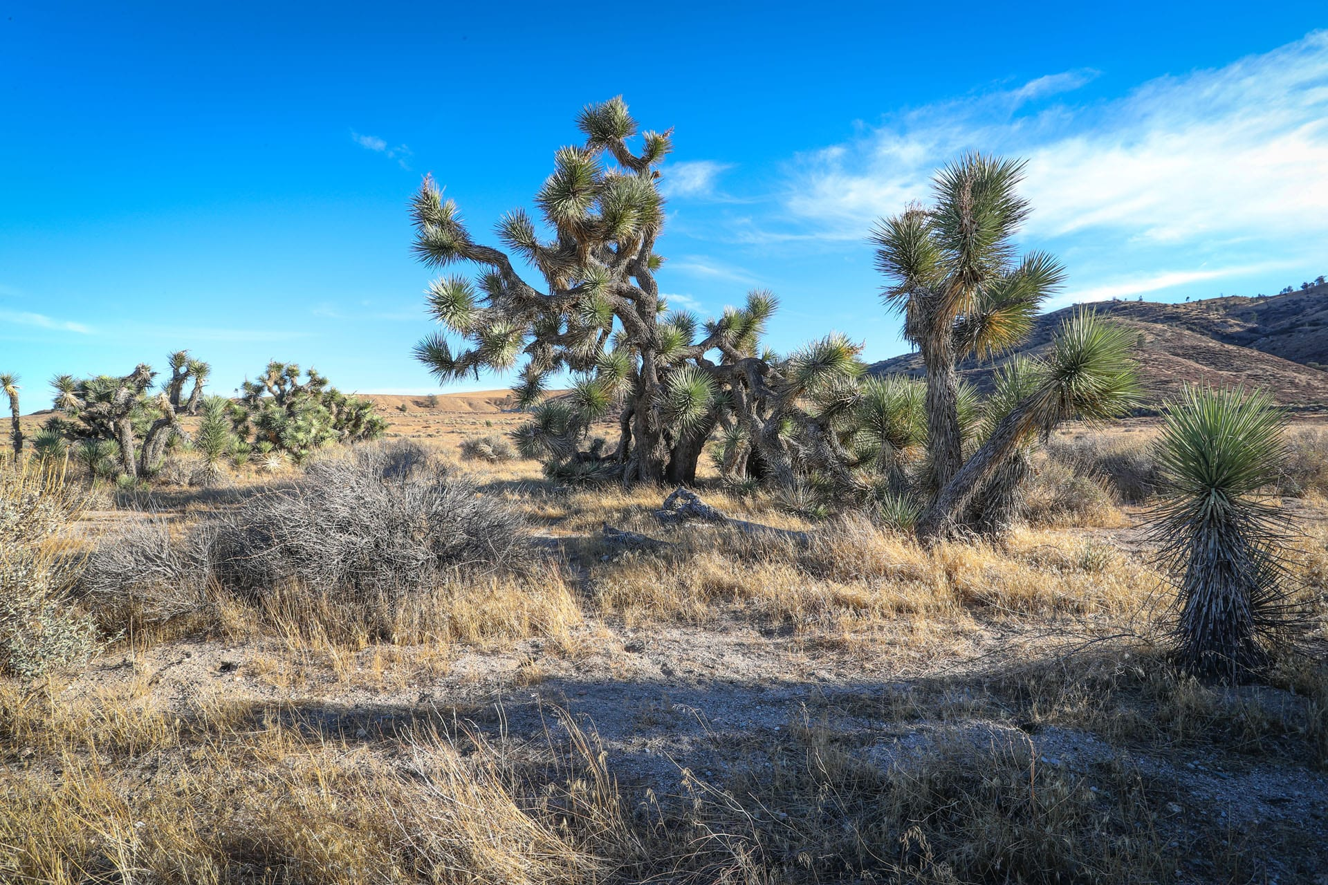 Joshua trees in a hilly field