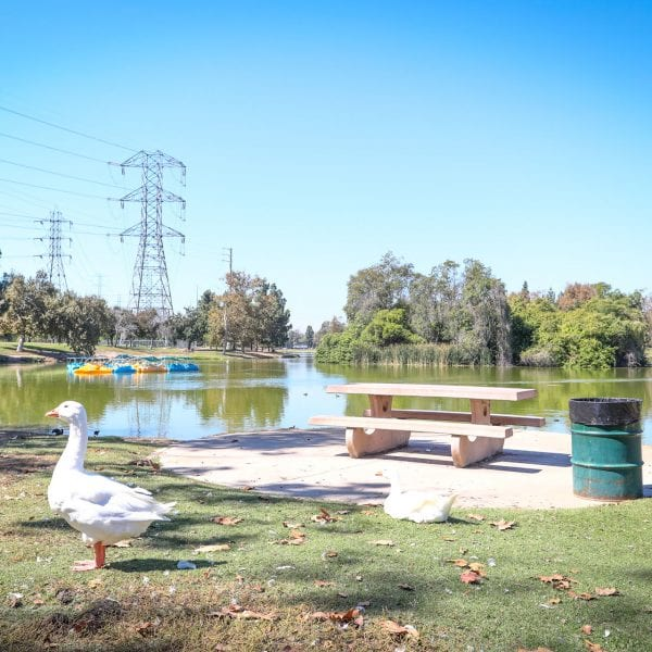Geese picnic table, trash can and lake with paddle boats