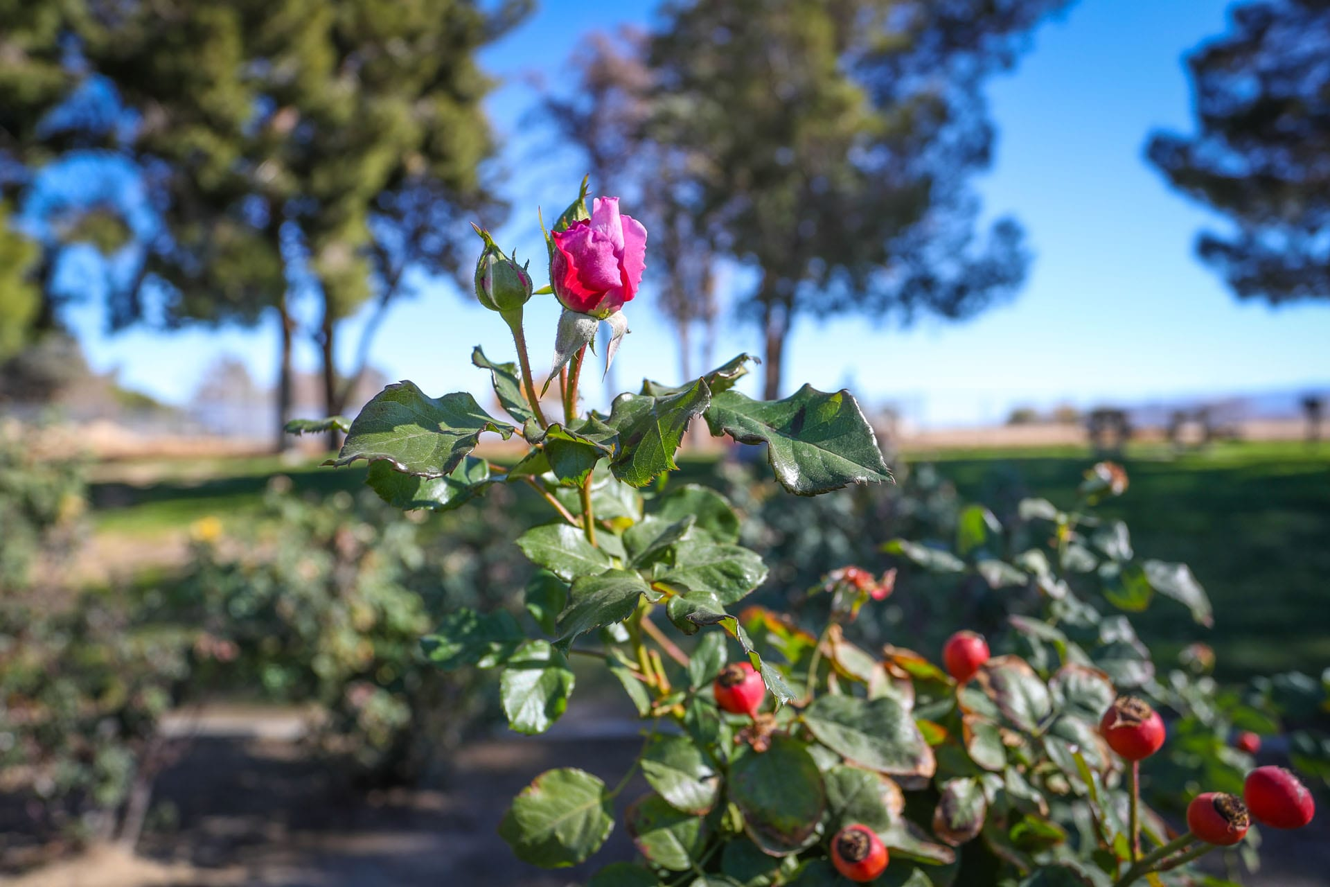 Roses and rose buds