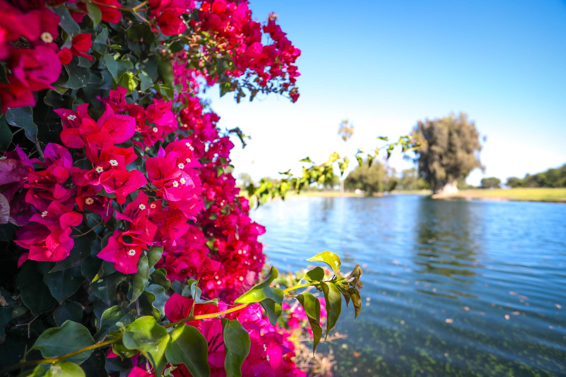 Magenta flowers among a lake