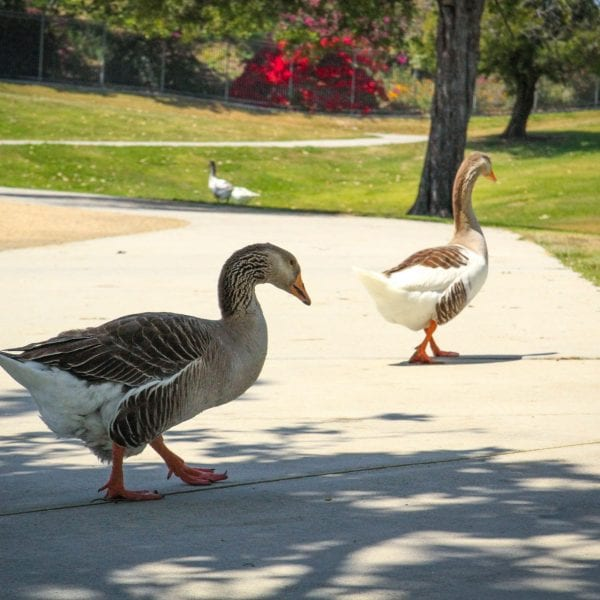 Geese on the paved path