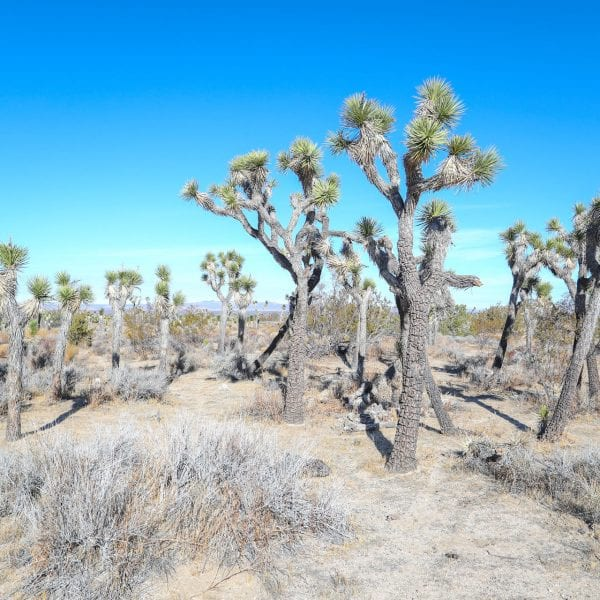 Joshua trees in the desert