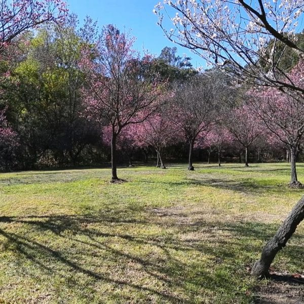 Cherry blossoms on a grass lawn