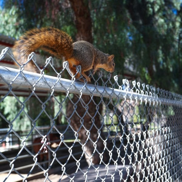 Squirrel on top of a chainlink fence