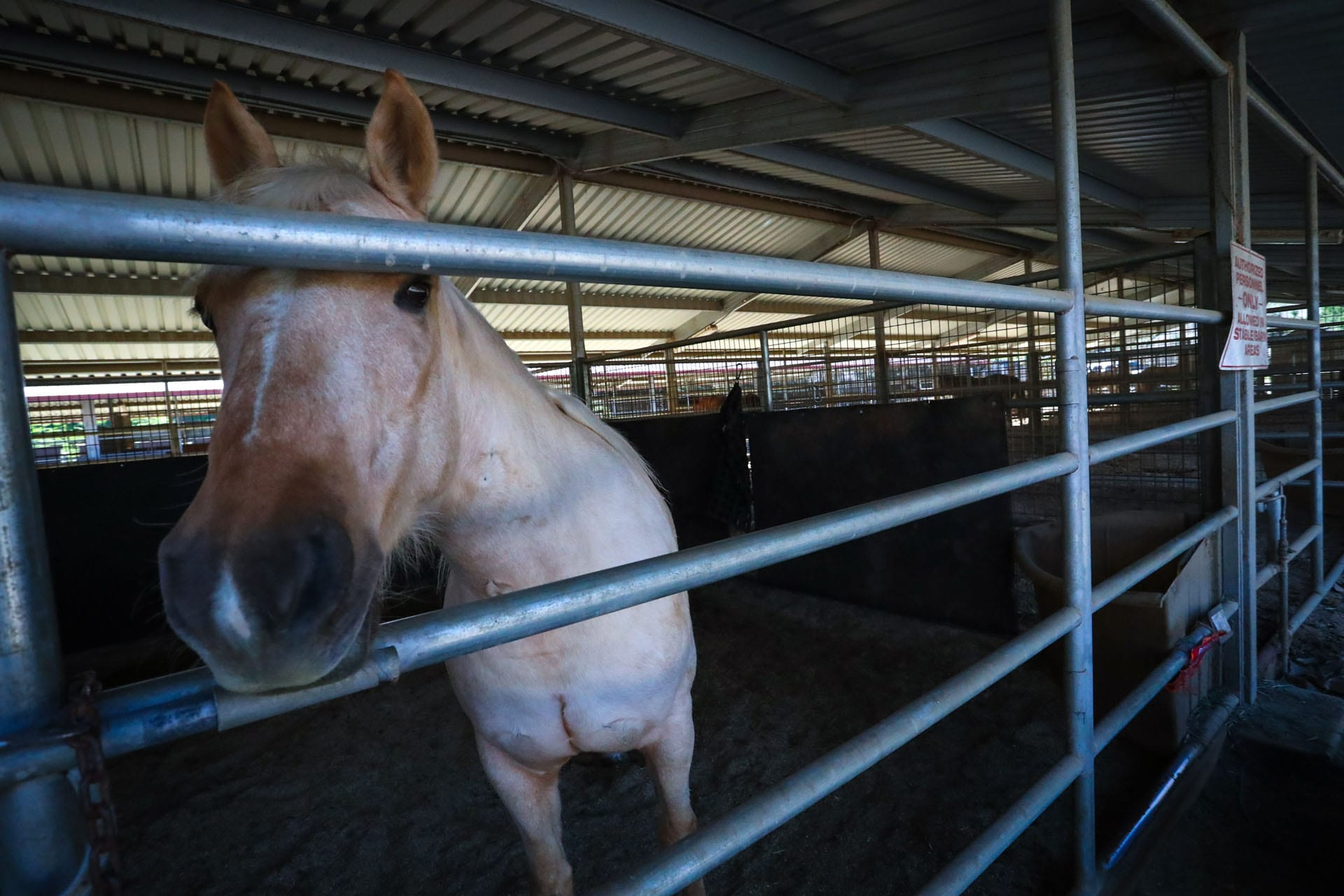 White horse looking through the rungs of it's stall