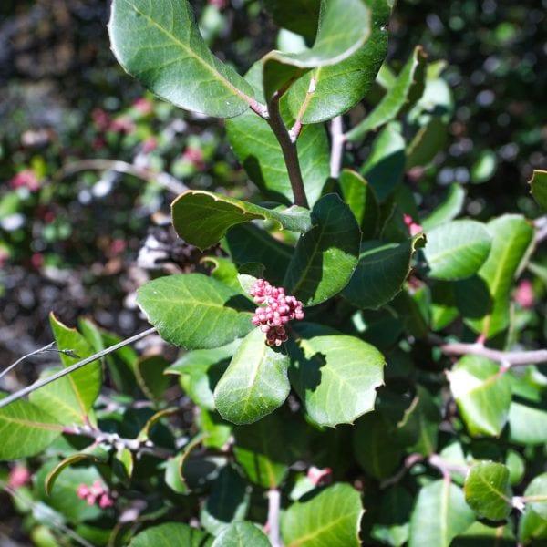 Berries on a shrub