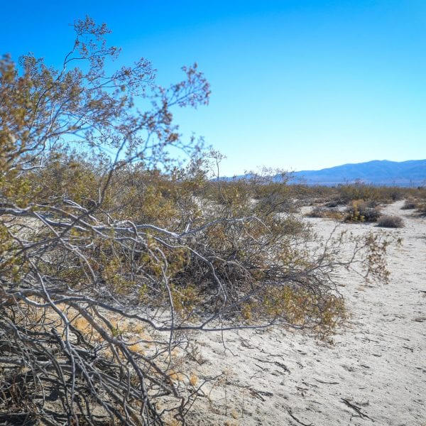 Sage brush in a desert