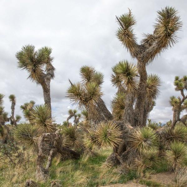 Neenach Wildlife Preserve desert pine
