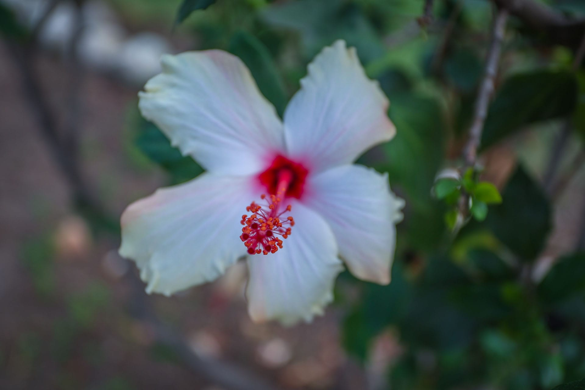 Close-up of a white and red flower